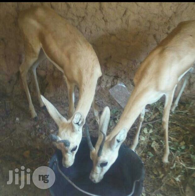 Male And Female Antelope Available For Sale