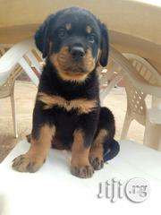 Full Breed Rottweiler Puppies | Dogs & Puppies for sale in Lagos State, Ikeja
