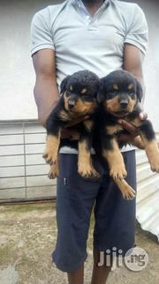 Top Notch Box Head Rottweilers Puppies for Sale | Dogs & Puppies for sale in Lagos State, Surulere