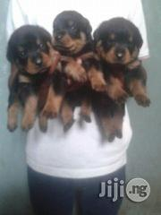 Top Quality Box Head Rottweiler Puppies for Sale | Dogs & Puppies for sale in Lagos State, Ikoyi