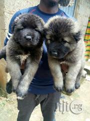 Top Notch Massive Caucasian Puppies For Sale | Dogs & Puppies for sale in Kano State, Dala