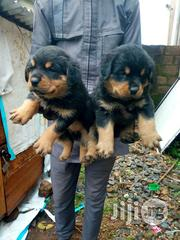 Top Quality Box Head Rottweilers Puppies For Sale | Dogs & Puppies for sale in Katsina State, Daura