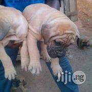 Top Notch Bullmastiff Puppies | Dogs & Puppies for sale in Lagos State, Lagos Mainland