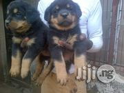 Top Quality Boxhead Rottweilers Puppies | Dogs & Puppies for sale in Lagos State, Lekki Phase 1