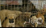 Pure Massive Boerboel Puppies | Dogs & Puppies for sale in Lagos State, Apapa