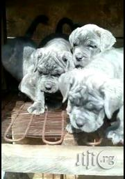Bonanza Italian Neapolithan Mastiffs Pups For Sale | Dogs & Puppies for sale in Lagos State, Lagos Mainland