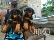 Top Quality Boxhead Rottweiler Puppies for Sale | Dogs & Puppies for sale in Lagos State, Ikeja