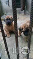 Both Sexes Pedigree Boerboel Pups | Dogs & Puppies for sale in Ikeja, Lagos State, Nigeria