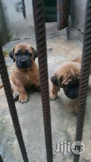 Both Sexes Pedigree Boerboel Pups | Dogs & Puppies for sale in Lagos State, Ikeja