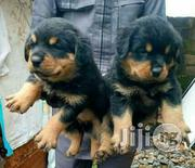 Top Massive Boxhead Rottweiler Puppies for Sale | Dogs & Puppies for sale in Lagos State, Yaba