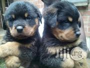 Rottweilers Pupppies for Sale | Dogs & Puppies for sale in Lagos State, Surulere