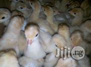 A Day Old Chick&Turkey, Big Fowl, Point Of Lay Etc | Livestock & Poultry for sale in Oyo State, Oluyole