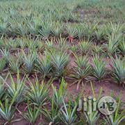 Hybrid Pineapple Suckers For Sales | Feeds, Supplements & Seeds for sale in Edo State, Okada