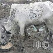 Healthy Cow Vet Certify | Livestock & Poultry for sale in Lagos State, Agege