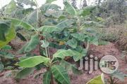 Plantain Suckers For Sale | Feeds, Supplements & Seeds for sale in Ogun State, Obafemi-Owode