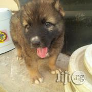 Caucasian Puppiess for Sale   Dogs & Puppies for sale in Abuja (FCT) State, Gwagwalada