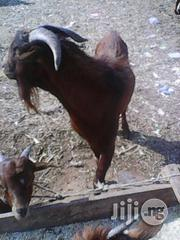 Live Goat Sale   Livestock & Poultry for sale in Abuja (FCT) State, Maitama