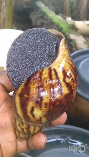 Snail For Sale