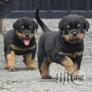 Top Quality Guard Dog German Rottweiler Puppy / Puppies For Sale | Dogs & Puppies for sale in Lagos State, Lagos Mainland
