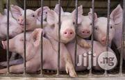 Exotic Weaners/Pigs For Sale! | Livestock & Poultry for sale in Ogun State, Ado-Odo/Ota