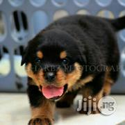Baby Female Purebred Rottweiler | Dogs & Puppies for sale in Oyo State, Lagelu