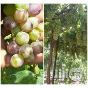 Vine Grape Seedlings | Feeds, Supplements & Seeds for sale in Abuja (FCT) State, Kubwa