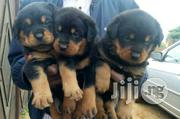 Top Box Head Rottweilier Puppy / Puppies Male and Female for Sale | Dogs & Puppies for sale in Lagos State, Magodo