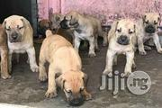 Best Giant South African Boerboel Mastiff Puppy / Puppies Male Female | Dogs & Puppies for sale in Lagos State, Magodo