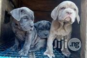 Top Quality Italian Giant Dog - Neapolitan Mastiff Puppies for Sale | Dogs & Puppies for sale in Lagos State, Magodo