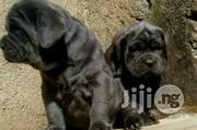 Neapolitan Mastiff Puppy / Puppies For Sale - Giant Italian Dogs | Dogs & Puppies for sale in Abuja (FCT) State, Maitama