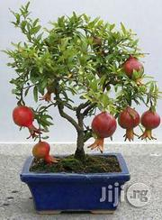 Pomegranate Seedlings | Feeds, Supplements & Seeds for sale in Plateau State, Jos