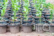 Lemon Seedlings | Feeds, Supplements & Seeds for sale in Plateau State, Jos