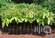Avocado Pear Seedlings | Feeds, Supplements & Seeds for sale in Plateau State, Jos