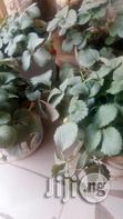 Strawberry Seedlings | Feeds, Supplements & Seeds for sale in Jos South, Plateau State, Nigeria