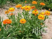 Calendula Flower Seedlings | Feeds, Supplements & Seeds for sale in Plateau State, Jos South
