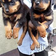 Box Head Rottweiler Puppies Available For Sale | Dogs & Puppies for sale in Lagos State, Yaba