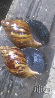 Healthy Snails | Other Animals for sale in Ogun State, Ado-Odo/Ota
