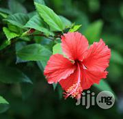 Organic Hibiscus Flower Fresh And Dried | Vitamins & Supplements for sale in Plateau State, Jos South