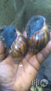 Snail For Sale | Other Animals for sale in Lagos State, Ojo