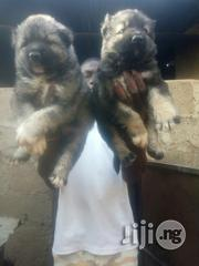 Pure Caucasian Puppy for Sale   Dogs & Puppies for sale in Abuja (FCT) State, Gwagwalada
