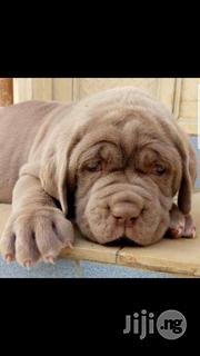 Full Breed Neopolitan Mastiff for Sale.   Dogs & Puppies for sale in Lagos State, Ikeja