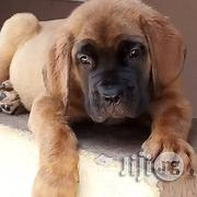Massive Pure Bred Boerboel Pup | Dogs & Puppies for sale in Lagos State, Ikeja