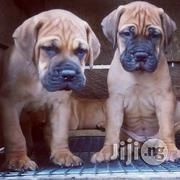 Pedigree Massive Purebred Boerboel Pups | Dogs & Puppies for sale in Lagos State, Ikeja
