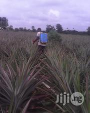 Hybrid Pineapple Suckers | Feeds, Supplements & Seeds for sale in Oyo State, Lagelu