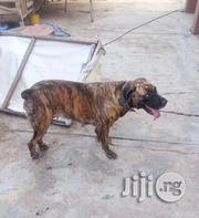 Adult Female Boerboel For Sale In Ibadan | Dogs & Puppies for sale in Oyo State, Ibadan North West