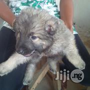 Caucasian Puppy   Dogs & Puppies for sale in Abuja (FCT) State, Gwagwalada