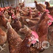 Point Of Lay Layers | Livestock & Poultry for sale in Lagos State