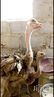 Young Male And Female Ostrich Available For Sale | Birds for sale in Oyo State, Ibadan