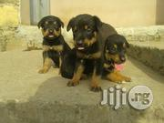Germanshepherd Pure Up for Grabs | Dogs & Puppies for sale in Lagos State, Ikeja