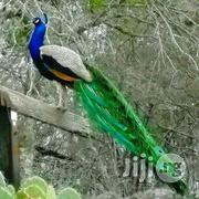 Male Ans Female Peacock Available For Sale   Birds for sale in Oyo State, Ibadan North